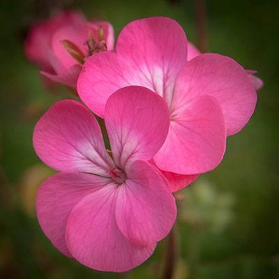 Geraniums Summer Flower