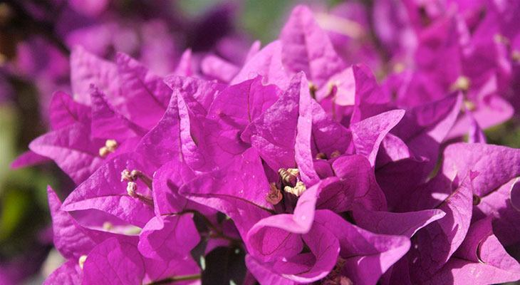 Bougainvillea Summer Flower
