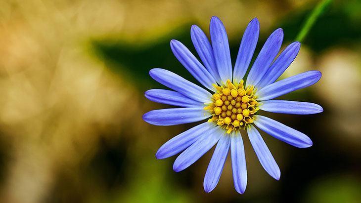 Aster Summer Flower