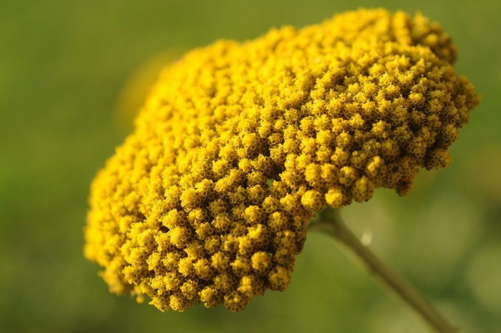 Yarrow Summer Flower