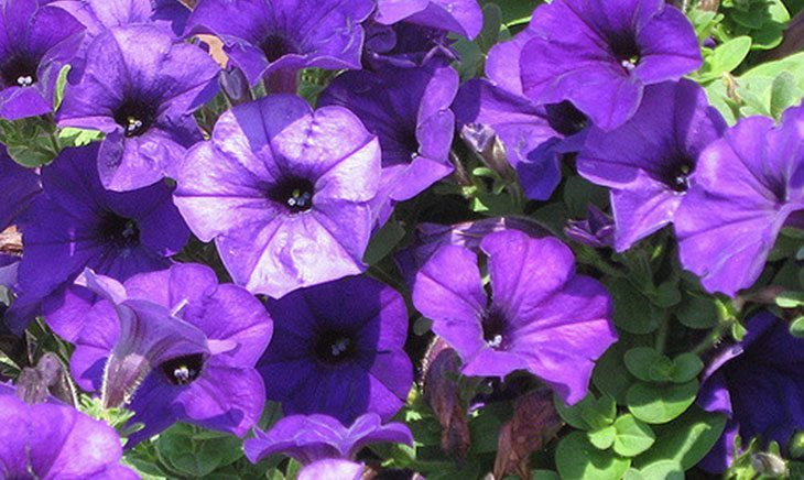 Purple Wave Petunia Summer Flower