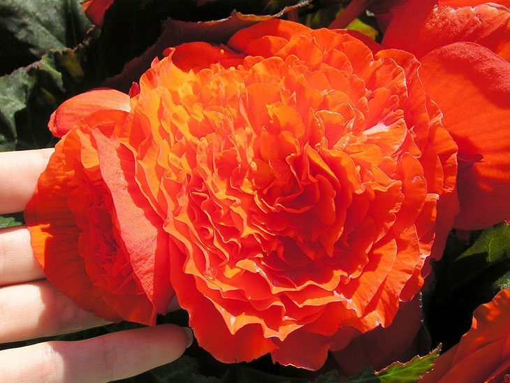 Tuberous Begonia Summer Flower