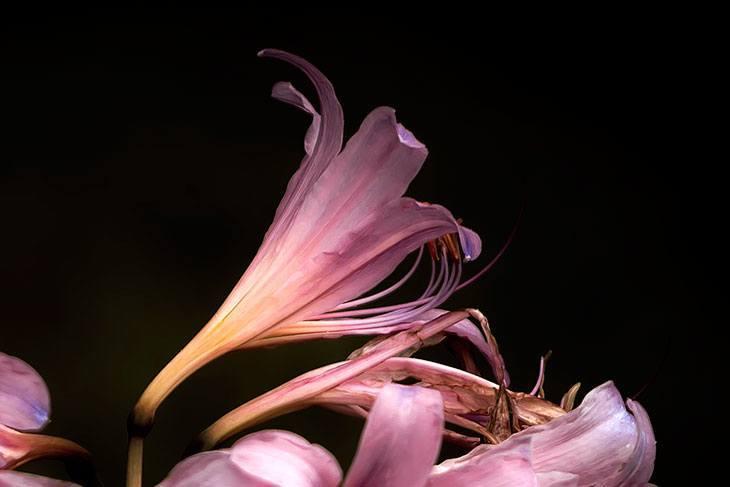 Surprise Lily Summer Flower