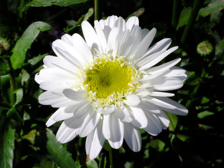 Shasta Daisy Summer Flower