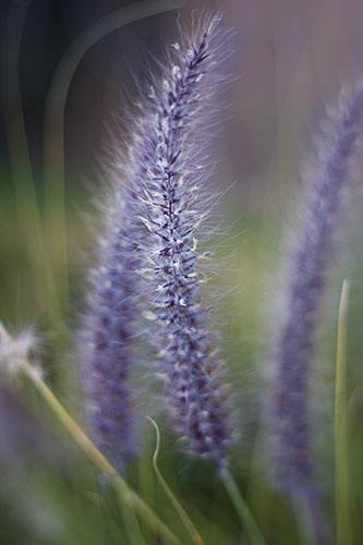 Purple Fountain Grass Summer Flower