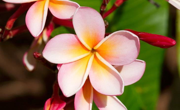 Plumeria Summer Flower