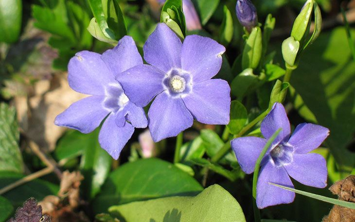 Periwinkle Summer Flower