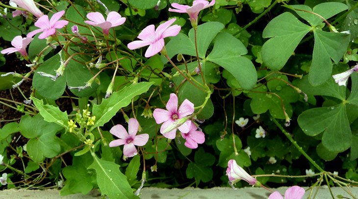 Oxalis Summer Flower