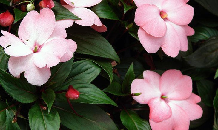 New Guinea Impatiens Summer Flower