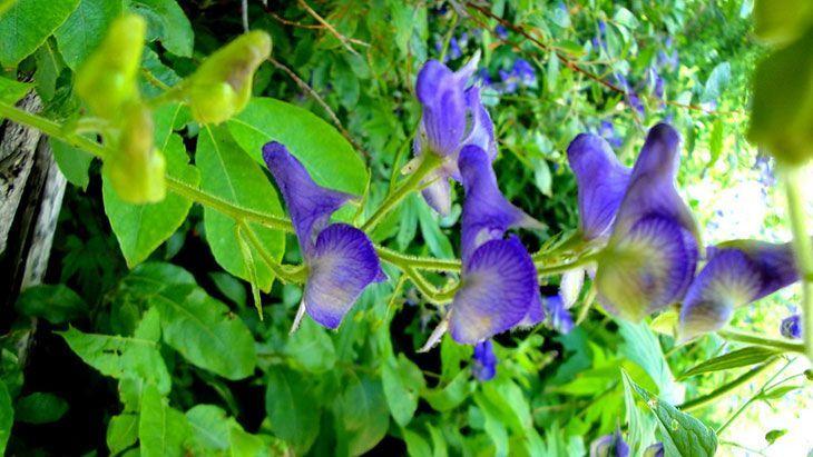 Monkshood Summer Flower