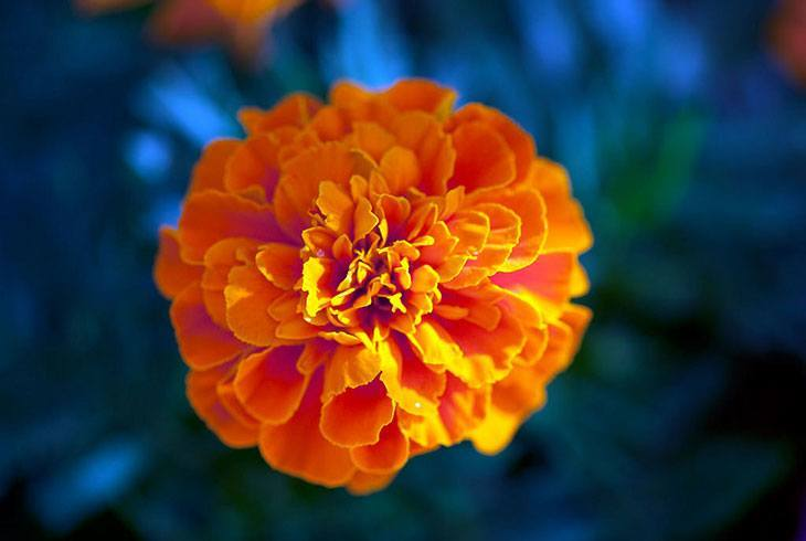 Marigolds Summer Flower