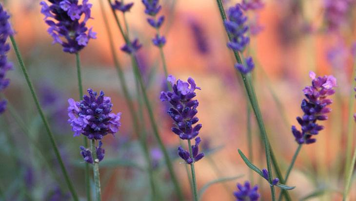Lavender Summer Flower