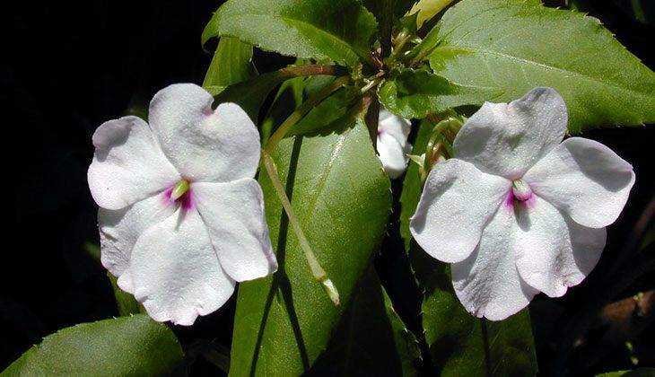 Impatiens Walleriana Summer Flower