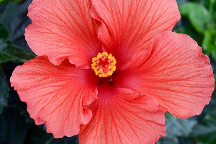 Hibiscus Summer Flower