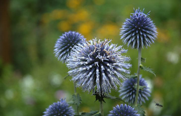 Globe Thistle Summer Flower