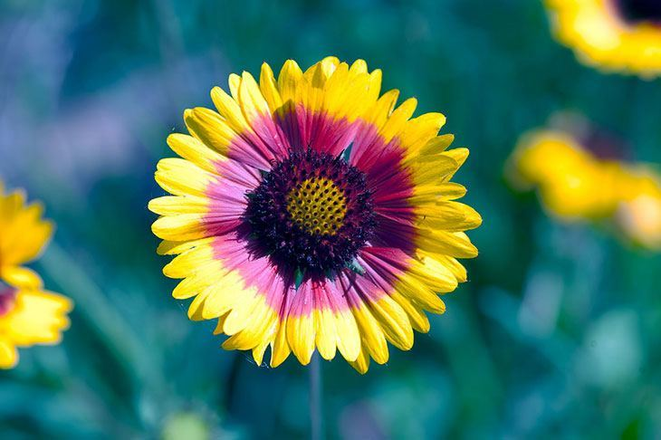 Gaillardia Summer Flower