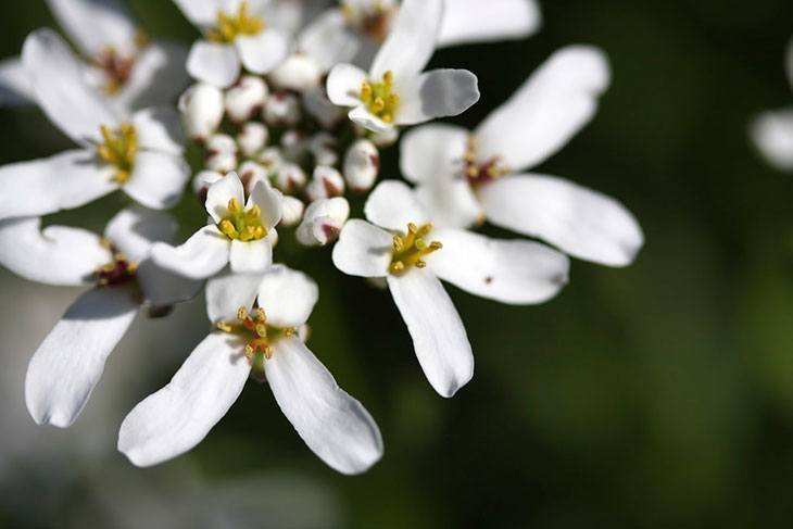 Evergreen Candytuft Summer Flower