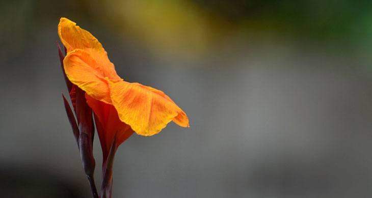 Canna Summer Flower