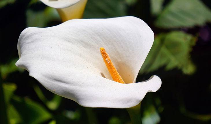 Calla Lily Summer Flower