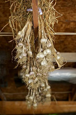 Garlic curing in a warm, dry place with air circulation.