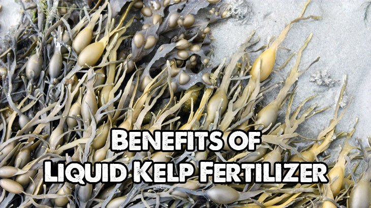 Benefits of Liquid Kelp Fertlilizer