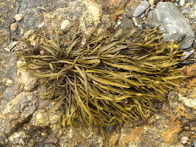 A bunch of ascophyllum nodosum kelp, the most commonly harvested for kelp fertilizer.