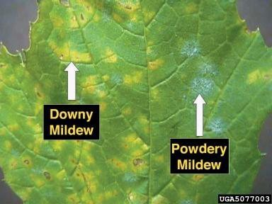 Downy vs. Powdery Mildew