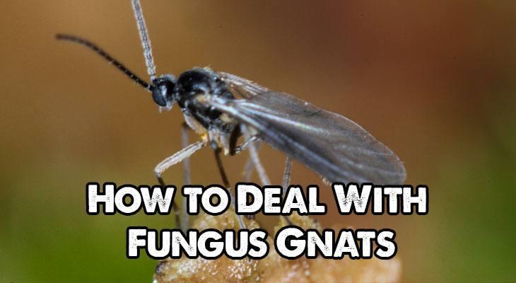 How To Treat And Kill Fungus Gnat Larvae