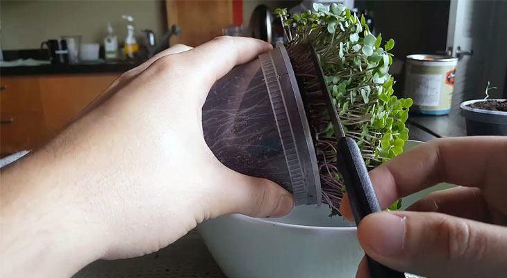 Harvesting kale microgreens