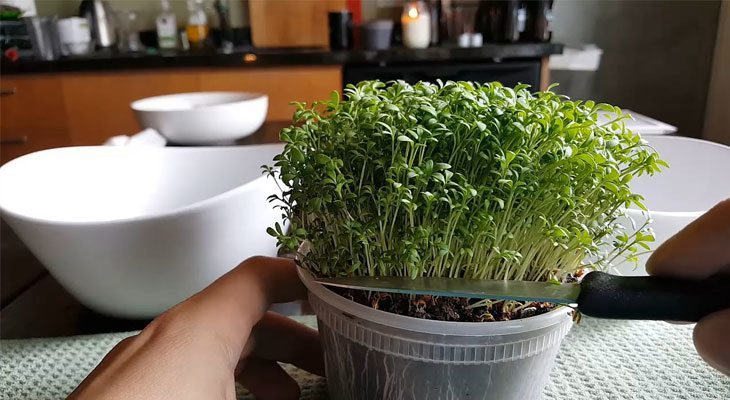 Harvesting cress microgreens