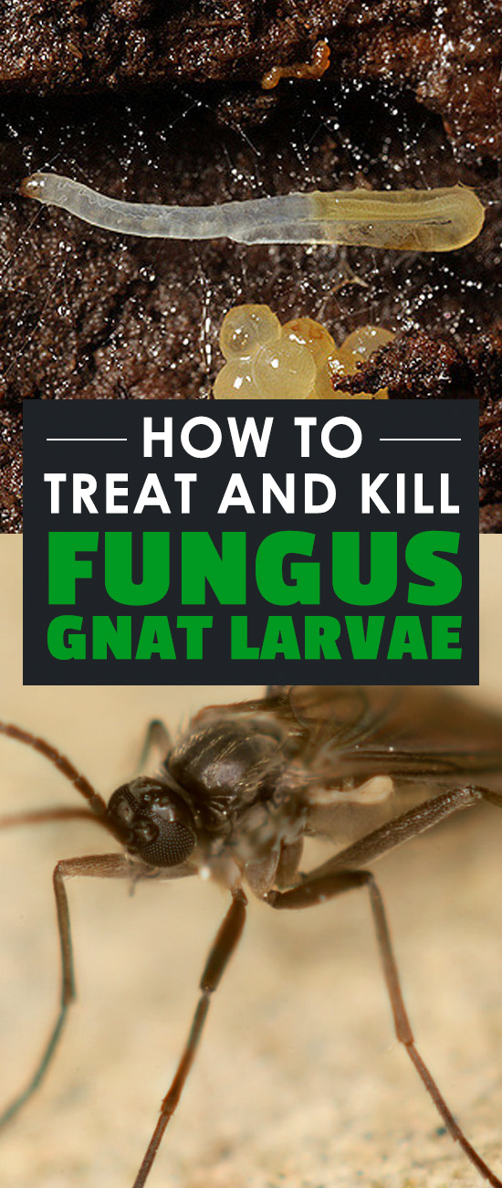 Fungus gnat larvae and the adult flies can destroy your garden. Learn how to treat and prevent fungus gnats in a few simple steps.
