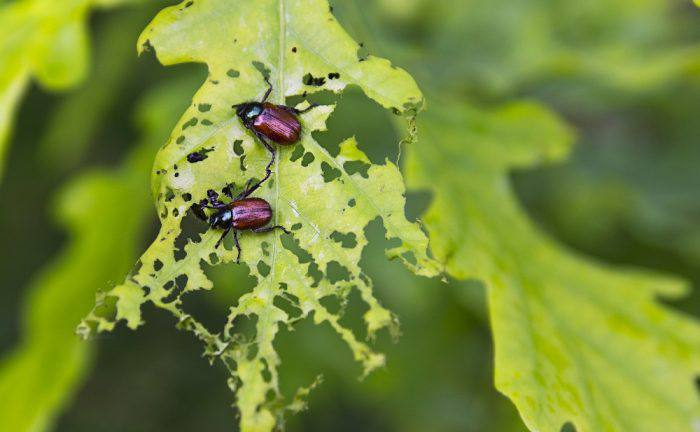 Get Rid of Japanese Beetles