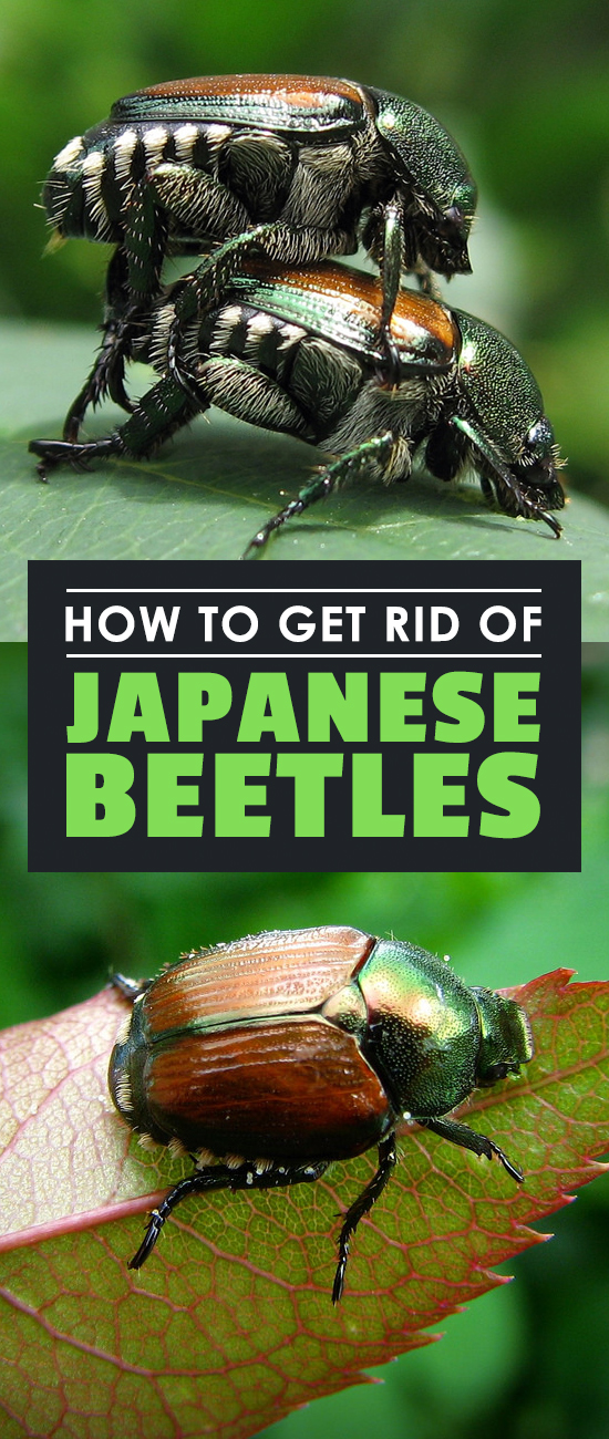 These nasty bugs can devastate your garden. Learn how to get rid of Japanese Beetles naturally and prevent them from ever coming back!