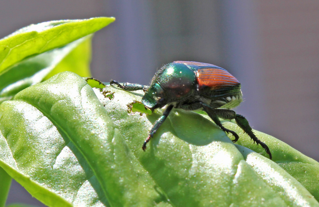 Beetle on basil