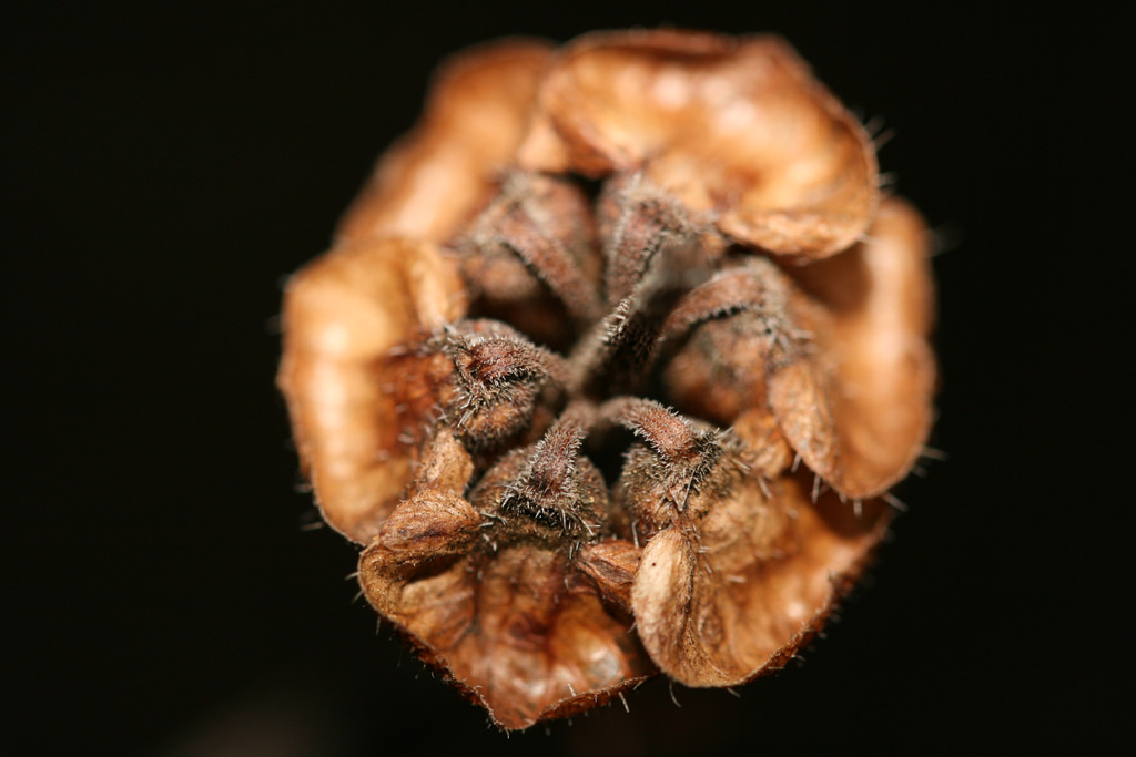 Dried basil pod