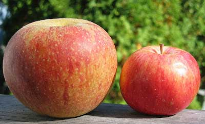 Crabapple Tree Fruit Size
