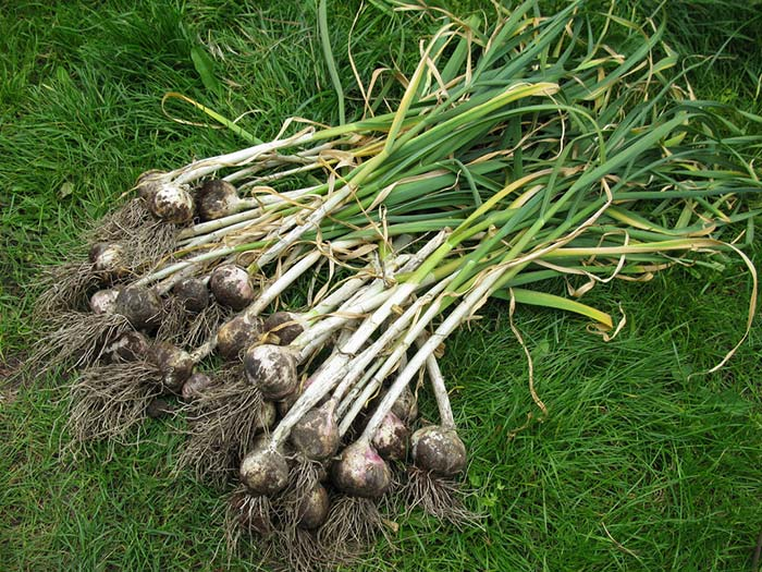 How to Harvest Garlic
