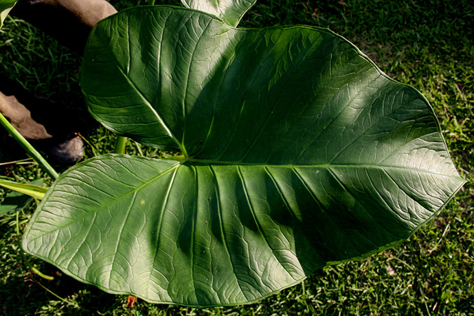 elephant ear plant care planting and growing tips epic gardening. Black Bedroom Furniture Sets. Home Design Ideas
