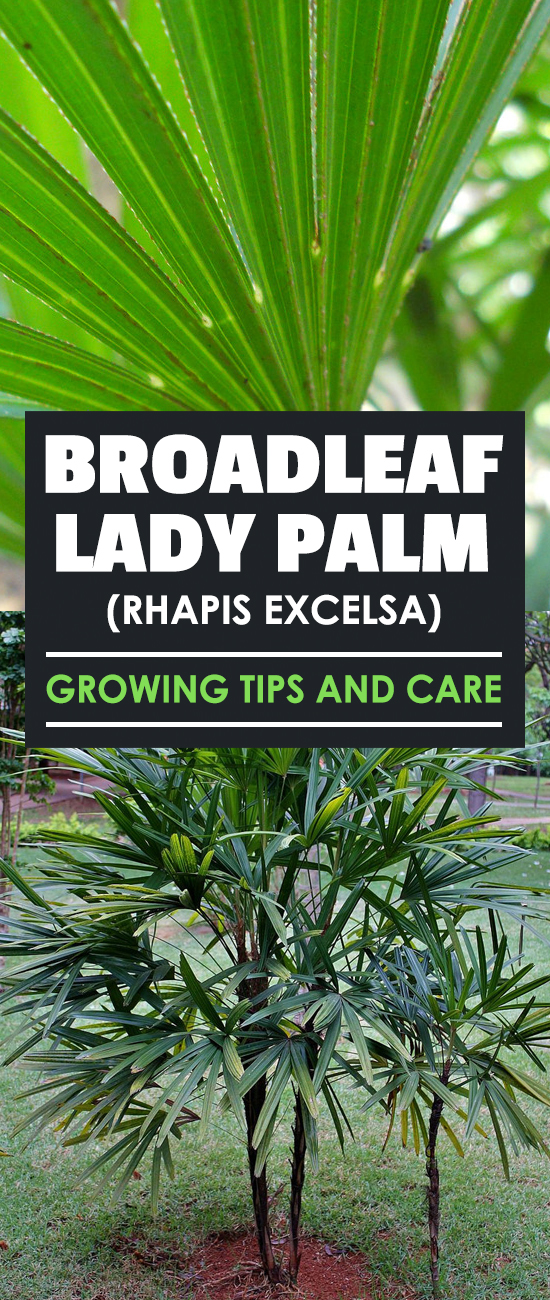 Broadleaf-Lady-Palm-Rhapis-Excelsa-Growing-Tips-and-Care Palm Tree Indoor House Plant Types on indoor house plant care, tall indoor palm trees types, indoor miniature palm tree, tropical palm trees types, like palm plants types, indoor bonsai tree types, dracaena house plant types, indoor rubber tree plant, indoor banana tree plant care, indoor dragon tree house plant, indoor plant pots, indoor house plant names, bamboo palm trees types, common house plant types, indoor palm tree problems, indoor dragon tree plants care, indoor palm tree identification guide, indoor tree areca palm, indoor house trees identification, fan palm trees types,