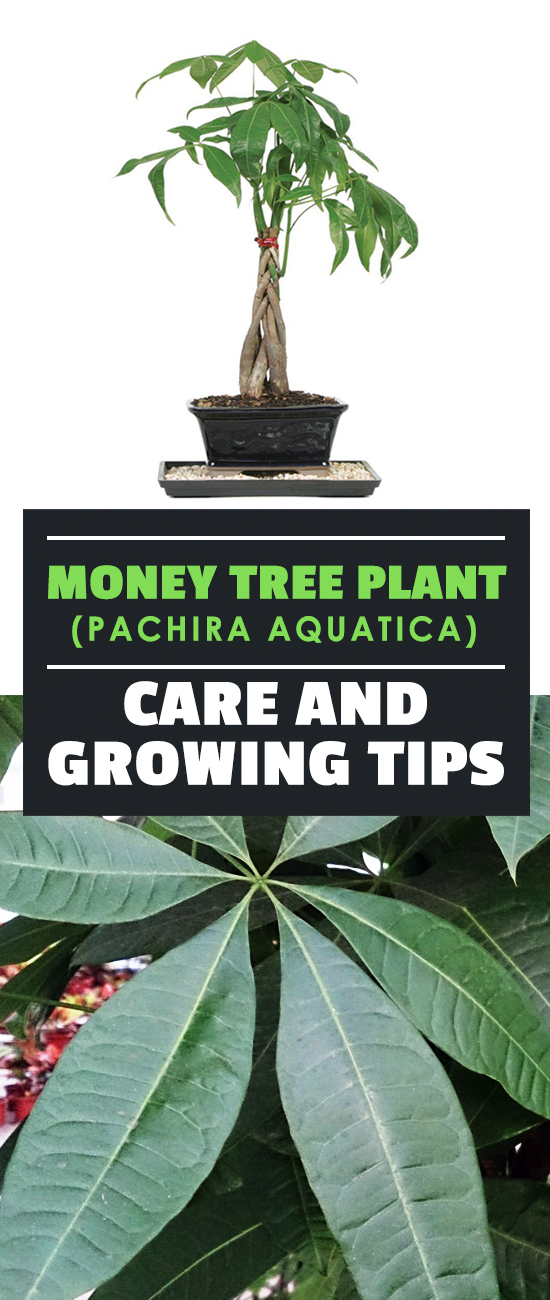 Providing Tree And Plant Care: Money Tree Plant (Pachira Aquatica) Care And Growing Tips