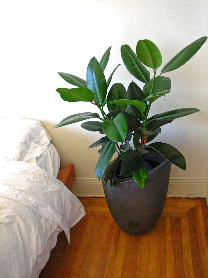 Rubber Plant (Ficus Elastica) Complete Care and Growing Guide