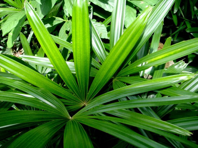 lady-palm-tree Palm Type Houseplants on palm fertilizer types, palm leaves types, palm plants types, ponytail palm types,