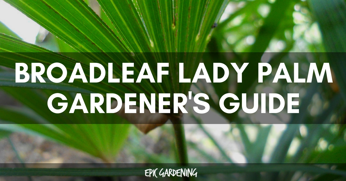 Broadleaf Lady Palm (Rhapis Excelsa): Growing Tips and Care