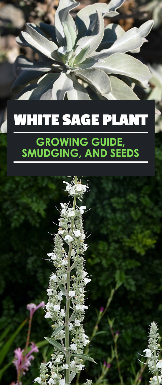 White sage (salvia apiana) is a wonderful plant for cooking, medicinal use, and smudging. Learn exactly how to grow, cultivate, and harvest in this guide.