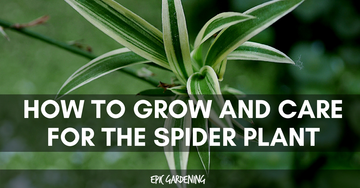 Spider Plant Care Easy Chlorophytum Comosum Tips