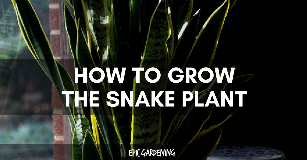 "Snake Plant Care – Growing The ""Mother In Law's Tongue"""