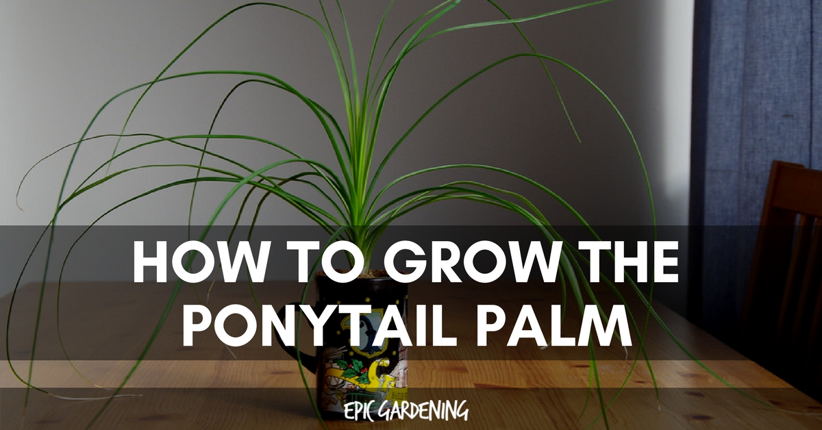 Ponytail Palm Care How To Grow Beaucarnea Recurvata Epic Gardening
