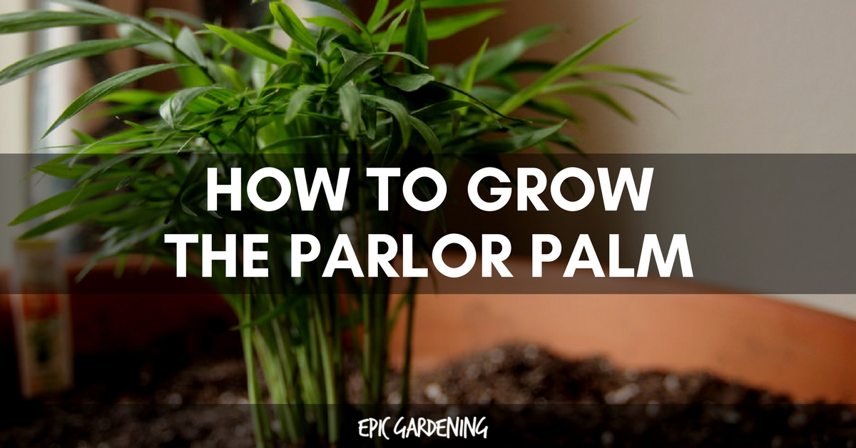 How to Grow a Parlor Palm Parlor Palm House Plant Leaf Discoloration on