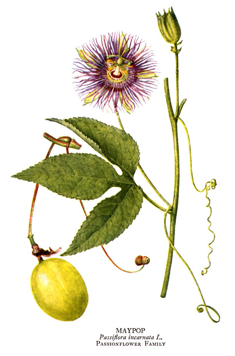 Purple Passion Flower Passiflora Incarnata Care And Benefits