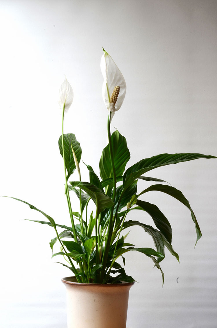 Peace Lily Care How To Grow Spathiphyllum Epic Gardening
